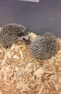 Hedge hog babies.
