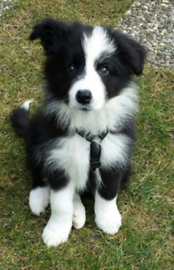 Wanted: male border collie pup