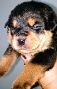 Rottweiler Pups...only 2 females left