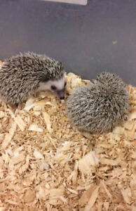 Hedghogs coming this week to The Extreme Aquarium!