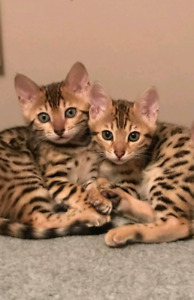 BEAUTIFUL BENGAL BABIES FOR SALE!! PURE BRED! READY TO GO!