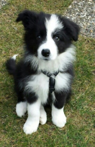 Wanted- male border collie
