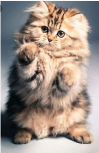 Looking for a medium to long haired kitten...