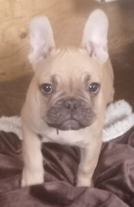 Chiots - Puppies - French Bulldog , Bouledogue Francais