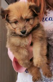 Dog Pomeranian cross Yorkshire Terrier