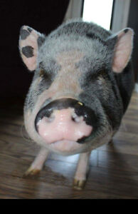3 year old mini pig looking for forever home