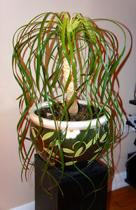Ponytail Palm plant with pot Kingston Kingston Area image 1