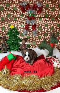 Purebred English Bulldog Puppies - Just In Time For Christmas!