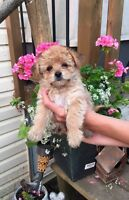 All the babies are gone!!Horkie ( Yorkie/Havanese) puppies $700.