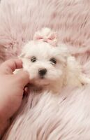Gorgeous Snuggly Tiny Teacup Morkie Puppies Ready