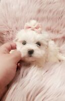 White/Cream Tiny Teacup Morkie Puppies Ready