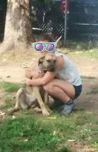 Incredible Cane Corso pup