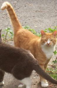 100$ RÉCOMPENSE PERDU CHAT  Orange tigré mâle castré Iberville