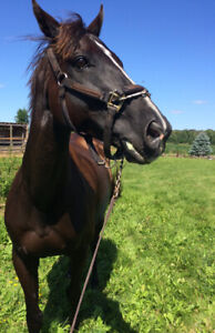 NEW PRICE- Beauty - Black Thoroughbred