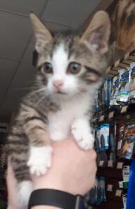 Dexter - rescued brown & white tabby male kitten for adoption