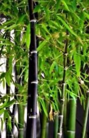 Black Bamboo Plants