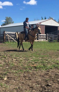 3 Year old gelding 14.2 hands