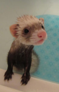 Looking for ferret companion!