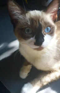 Adorable Siamese/Ragdoll mixed female