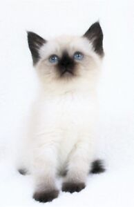 Ragdoll/Siamese kittens are available for their new homes..