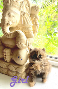 Stunning Persian kittens available for reservation now!!