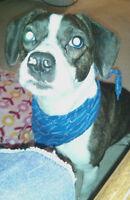 french bulldog beagle