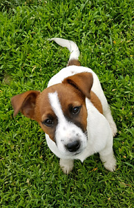 English Jack Russell Terrier Puppies for sale