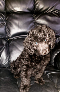 Reduced $ Rare Mini Bernedoodle pups mini poodle / bernese