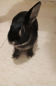 2 year old rabbits for $30
