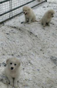 Maremma guardian dog puppies for sale