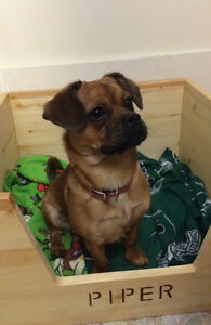 Pug/French Bulldog/Beagle cross pup for sale