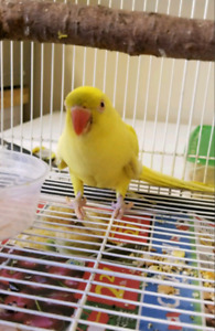 Indian ringneck yellow female