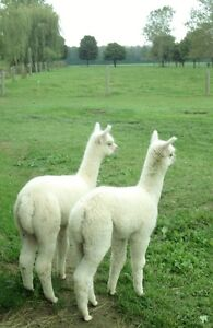 Proven Breeding Sire + 2 Young Male Alpacas .