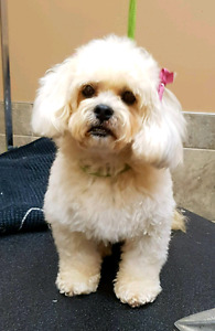 4yr female bichon mix