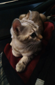 Tia, gorgeous, 5 mo old, blue-eyed, marbled snow bengal $600.