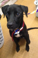 Sweet young lab mix for adoption