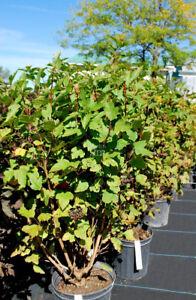 Physocarpe opulifolius--  VERT  --  9 plants de disponibles