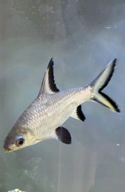 Silver tip bala shark