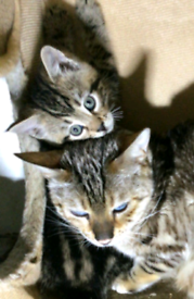 Bengsl x Maine coon kitten