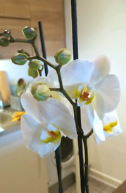 Real Blooming Orchid phalaneopsis plant flower