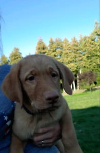 Lab Puppies | Kijiji in Ontario  - Buy, Sell & Save with