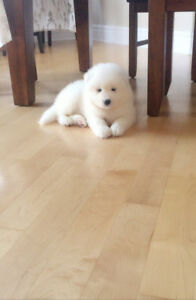 Adorable purbred Samoyed puppies for sale