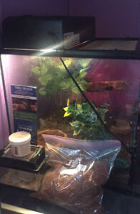 Young Cuban Tree Frog with Setup
