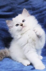 Adorable Ragdoll Kittens for Rehoming