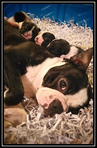 Boston Terrier ( just one male left)