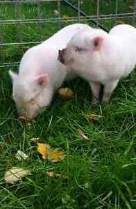 Mini pot belly piglets