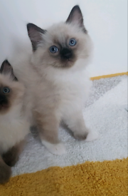 Last one beautiful pedigree boy ragdoll kitten ready for new home.