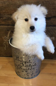 Georgeous Poodle Eskimo Cross - ESKIPOO - Price Negotiable