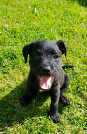 Patterdale cross Jack Russell puppies £600