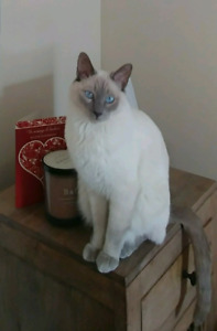 MISSING CAT IN FOREST HEIGHTS KITCHENER